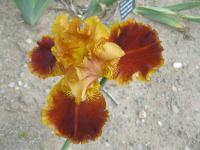 Iris barbata 'Rustler'  Bearded Iris flowers