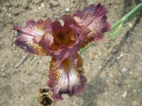 Iris barbata 'Rocket Thruster'  Bearded Iris flowers