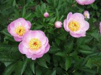 Paeonia lactiflora  'Gleam of Light' - Chinese Peony