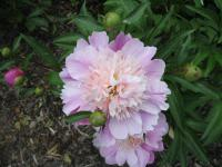 Paeonia lactiflora  'English Princess' - Chinese Peony