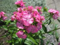 Dianthus barbatus   - Sweet-william