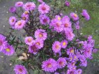 Symphyotrichum novae-angliae 'Kate Bloomfield'  New England Aster plant