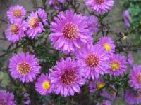 Symphyotrichum novae-angliae   'Kate Bloomfield'  New England Aster flowers