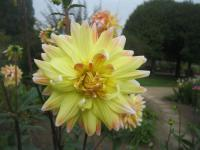 Dahlia 'Peaches and Cream'  Dahlia flowers
