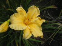 Hemerocallis 'Golden Scroll'  Daylily flowers