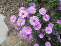 Aster dumosus 'Rosemarie Salman'  Rice Button Aster plant