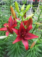 Lilium x hybridum   'Black Out'  Lily plant