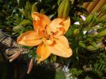 Lilium x hybridum 'Double Orange'  Lily flowers