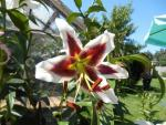 Lilium x hybridum  'Beverly Dreams'  Lily flowers
