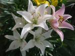 Lilium x hybridum     'Party Diamond'  Lily flowers