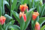 Tulipa 'Joint Division'  Tulip flowers