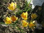 Crocus chrysanthus  'Advance' - Golden Crocus