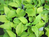 Hosta  'August Moon'  Plantain Lily plant