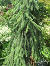 Picea Abies Bohemica Pendula Norway Spruce Garden Encom