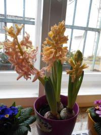 Hyacinthus orientalis       'Gipsy Queen'  Common Hyacinth flowers