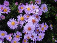 Aster dumosus   'Rozika'  Rice Button Aster plant