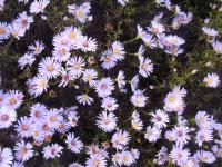 Aster dumosus    'Peter Harrison'  Rice Button Aster plant