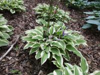 Hosta   'Little Wonder'  Plantain Lily plant