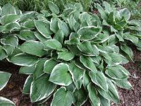 Hosta 'Green Gold'  Plantain Lily plant