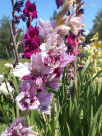 Gladiolus  'Crazy Idea'  Gladiolus flowers