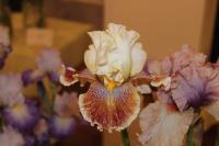 Iris barbata 'Wonders Never Cease'  Bearded Iris flowers