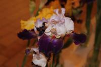 Iris barbata  'Some Enchanted Evening'  Bearded Iris flowers