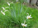 Narcissus poeticus   Pheasant's-eye Daffodil plant