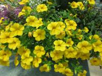 Mini petunia Calibrachoa