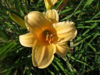 Hemerocallis 'Picture Hat'  Daylily flowers