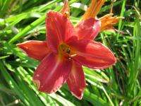 Hemerocallis 'Robert'  Daylily flowers