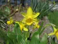 Narcissus      'Tete a Tete'  Daffodil flowers