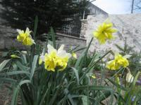 Narcissus 'Belcanto'  Daffodil plant