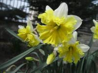 Narcissus    'Belcanto'  Daffodil flowers