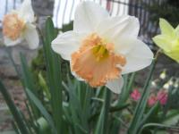 Narcissus  'British Gamble' - Daffodil