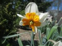 Narcissus       'Parissienne'  Daffodil flowers