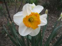 Narcissus 'Sound'  Daffodil flowers