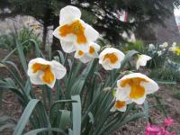 Narcissus 'Tricollet'  Daffodil plant