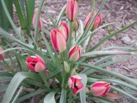 Tulipa hageri 'Little Beauty'  Tulip plant