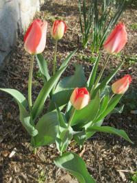 Tulipa  'Big Chief' - Tulip
