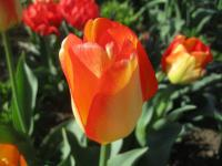 Tulipa  'American Dream' - Tulip