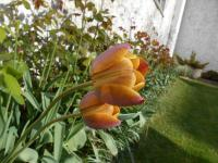Tulipa 'Brown Sugar'  Tulip flowers