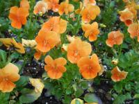 Viola cornuta   'Twix Orange'  Horned Pansy plant