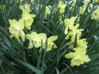 Narcissus  'Saint Patricks Day' - Daffodil