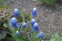 Modřenec Ocean Magic (Muscari aucheri)