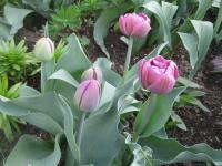 Tulipa 'Lilac Perfection'  Tulip plant