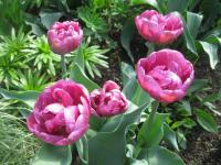 Tulipa   'Lilac Perfection'  Tulip flowers