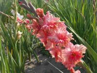 Gladiolus   'Days End'  Gladiolus flowers