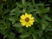 Ostálka Zahara Yellow (Zinnia maryladica)