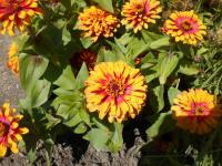 Zinnia elegans 'Swizzle Scarlet and Yellow'  Youth-and-age plant