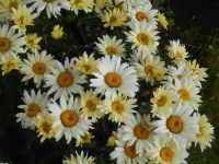 Leucanthemum maximum     'Broadway Lights'  Max Chrysanthemum knots